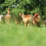 Poulets au grand air