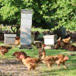 Poulets en liberté